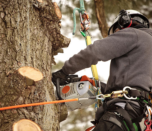 Five Star Tree Service employee cutting a tree down